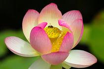 Lotosblüte mit Biene by Bernhard Kaiser