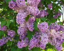 Lilacs Pt. 2 by Dawn Siegler