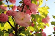 Kirschblüten an einem sonnigen Tage von Marco Lermer
