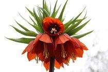 Blumen Paar 3 von Marco Lermer