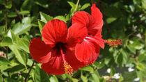 Hibiscus rosa-sinensis by Melanie Werner