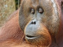 Orangutan Smile von Annika  Leichtweiss