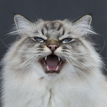 Meow von Heidi Bollich