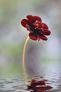 Schokoladenblume von Bernhard Kaiser