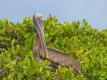Pretty Pelican  von Annika  Leichtweiss