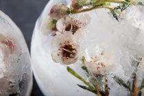 Wachsblume in Eis 2 von Marc Heiligenstein