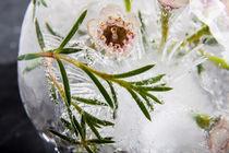 Wachsblume in Eis 1 by Marc Heiligenstein