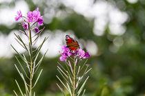 Schmetterling auf Blüte von Christoph Schötschel