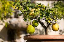 Zitronenpflanze by Christoph Schötschel
