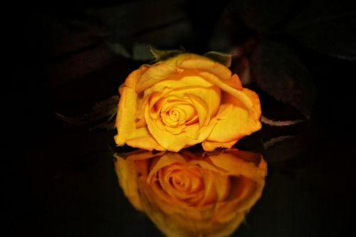 Rose-gelb1