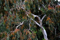 Eukalyptus by Iris Heuer