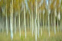 Birchtrees by Christina Sillèn