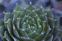 succulent by studioflara