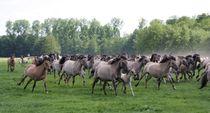 Dülmener Wildpferde von Angelika Keller