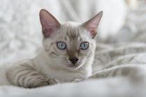 Bengal Kitten / 17 by Heidi Bollich