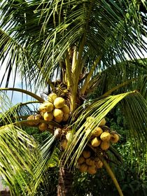 Kokospalme mit Kokosnüssen by assy