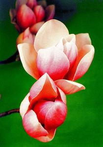 Magnolienblüte II von Gabriele Köder - Bercher