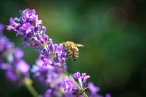 Wespe im Lavendel - A wasp on lavender by Ruth Klapproth