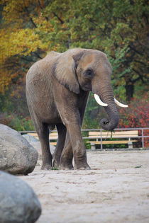 African Elephant  by Ruth Klapproth