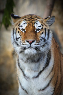 Majestic Tiger by Ruth Klapproth