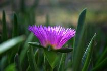 Mittagsblume violett von Iris Heuer