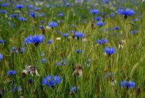Kornblumen von Iris Heuer