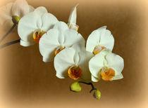 Orchidee Phalaenopsis von Iris Heuer