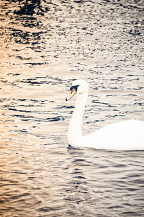 Swan by Anna Zamorska