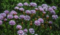 Fliederfarbene Blüten von Iris Heuer