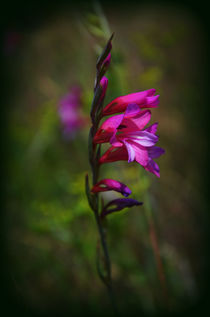 Glockenblume von Iris Heuer