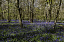 Bluebells Coxsetters Wood by Jim Hellier
