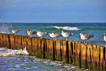 Möwen auf Buhnen - Seagulls on groynes von Thomas Klee