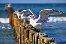 Möwe auf der Buhne gelandet - Seagull has landed on the groynes von Thomas Klee