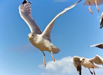 Möwen in der Luft - Seagulls in the air von Thomas Klee