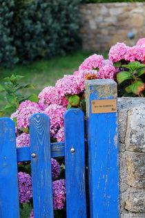 Hortensien am Zaun in der Bretagne von Birgit Wagner
