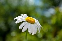 Beautiful marguerite by Claudia Evans