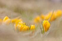 'Frühlingsboten' by Bettina Dittmann