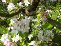 Apfelblüten von rosi-hainz