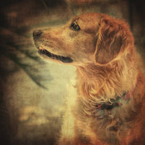 Golden retriever von zapista