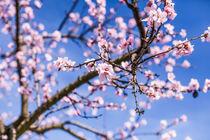 Mandelblüte von Peter Sebera