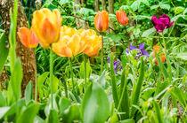 Tulpen  by Peter Sebera