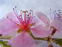 Kirschbaumblüte von Gabriele Köder - Bercher