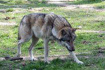 Einsamer Wolf von Angelika Keller