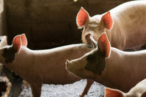 Porks  herd von Gustavo Concepción