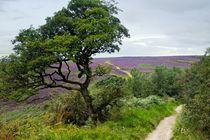 Moorland Path. Goathland, Yorkshire by David Lyons