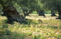 The old olive grove. Mallorca by David Lyons