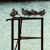 A flock of seagulls meeting in the afternoon by salogwynfineart