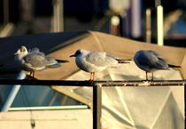 The three seagulls on a row by salogwynfineart