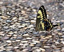 Papilio demoleus von garrulus-glandarius