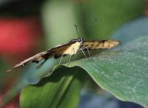Papilio thoas im Halbprofil von garrulus-glandarius